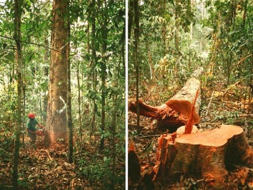 actividades_de_corte_de_madeia_en_amazonia