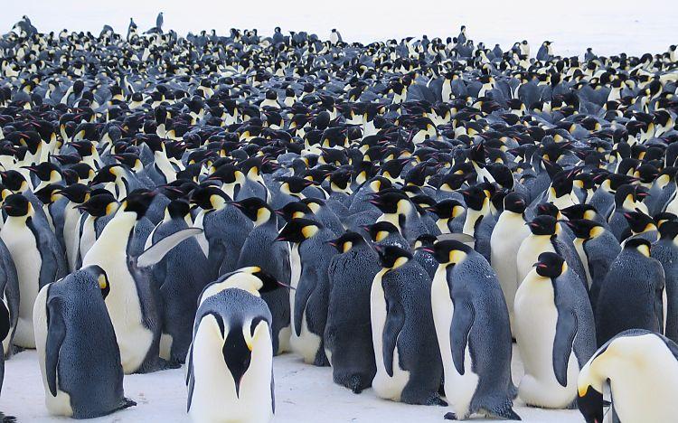aca el tema que me carcome para que  estan los pinguin 2011