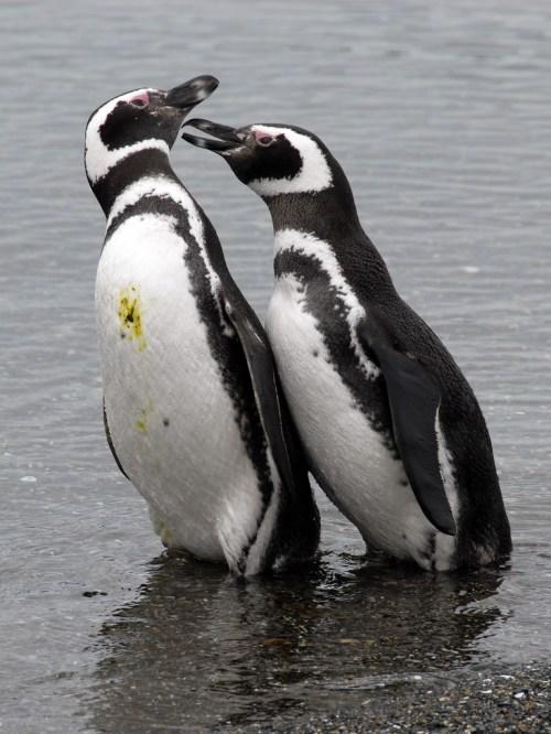 pinguinosmagallanicos