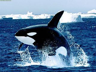 foto-orca